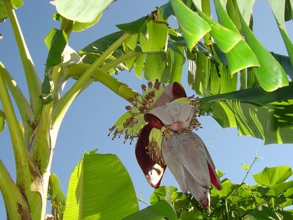 Mơ thấy cây chuối ra hoa đánh con gì?