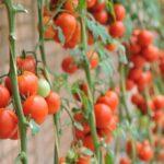 Mơ thấy quả cà chua đánh ngay cặp số nào trúng lớn?