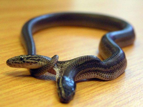 Nằm mơ thấy rắn hai đầu có ý nghĩa gì đặc biệt